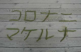 オニグルミ雄花�C.jpg