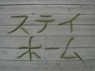 オニグルミ雄花�D.jpg