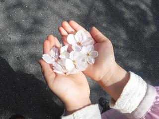 手のひら桜.jpg