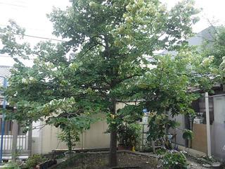 菩提樹�A.jpg
