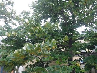 菩提樹�C.jpg